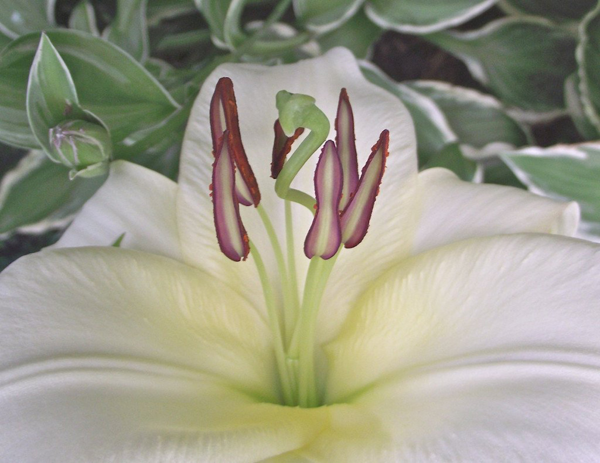 """Curtis H. Jones - FLOWER III: """"Pure White"""",  Large Canvas"""